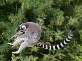 Jumping ring-tailed lemur — Stock Photo