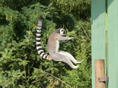 Jumping ring-tailed lemur — Stock Photo