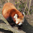 Red panda on the tree trunk — Stock Photo #43148307