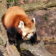 Red panda on the tree trunk — Stock Photo #43148317