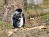 One angola colobus sit on the ground — 图库照片