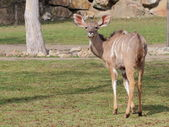 Greater kudu female on meadow — Stock Photo