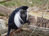 One angola colobus sit on the tree trunk — Stock Photo