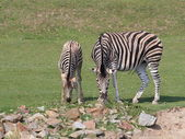 Zebra with foal on pasture — Stock Photo