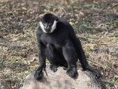 Gibbon sitting on the rock — Photo