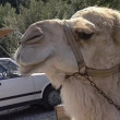 Vídeo de stock: Camels