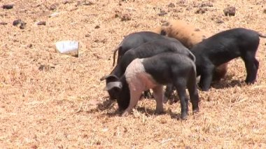 Pigs on the grass — Stock Video