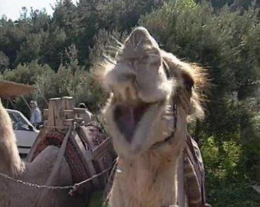 Camels — Stock Video