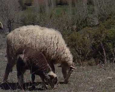 Sheeps — Stock Video