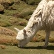 Stock Video: Llamas eating grass
