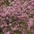 Stock Video: Cherry blossom