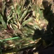 Corn harvest — Vídeo de stock #38998297