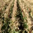 Corn harvest — Vídeo de stock #38998991