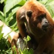 Stock Video: Monkey in Amazon rainforest