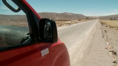Llamas crossing the desert road — Vídeo de stock