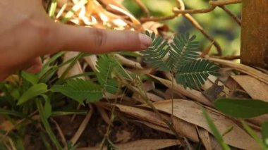 Hand touching mimosa leaves — Stock Video