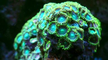 Corals  in marine water in aquarium — Stock Video