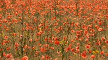 Poppies field — Stock Video