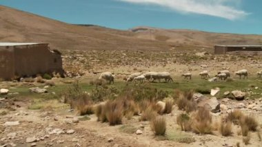 Sheeps in the desert, Peru — Stock Video