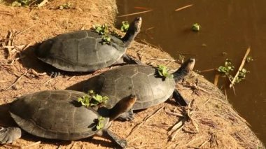 Turtles in rainforest — Stock Video