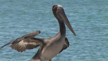 Pelican — Stock Video