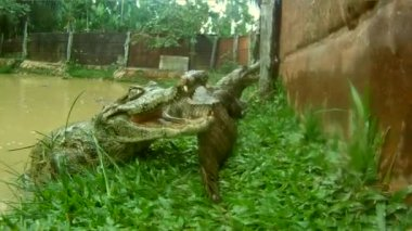 Crocodiles, South America — Stock Video