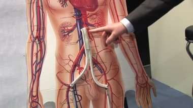 Outline of arteries in the male body — Stok video