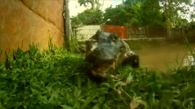 Crocodile, South America — Stock Video