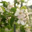 Stock Video: Apple plantation