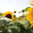 Stock Video: Sunflowers dancing in wind.