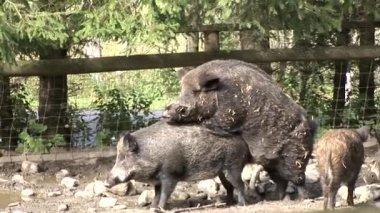Wild Pigs — Stock Video