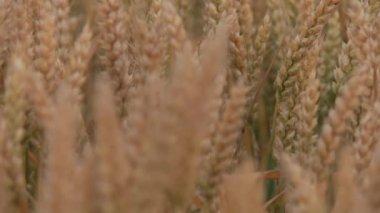 Grain field of wheat — Stock Video