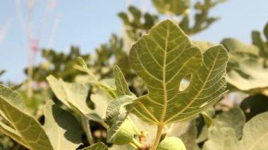 Fig tree — Stock Video