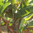 Bananplants — Stock Video #39150091