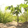 Mango plant — Stock Video #39151407