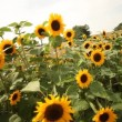 Stock Video: Sunflowers dancing in wind