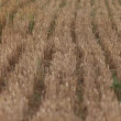 Harvested Grain field — Stock Video #39152043