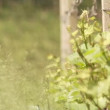 Stock video: Vine growing in south Tyrol
