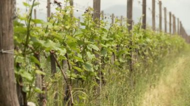 Vine growing in south Tyrol — Stock Video