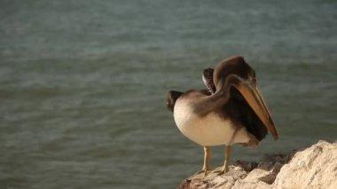 Pelican Bird — Stock Video