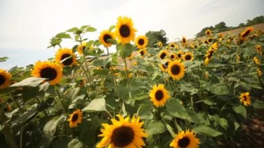 Sunflowers dancing in the wind — Stock Video