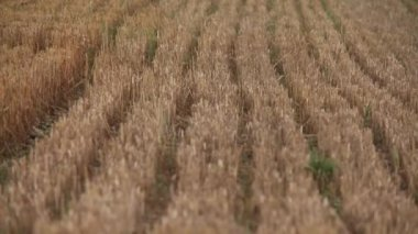 Harvested Grain field — Stock Video
