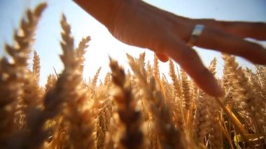 Hand of woman in Grainfield — Stock Video