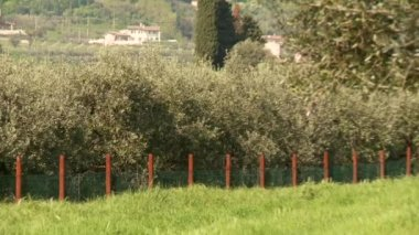 Olive tree plantation — Stock Video
