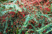 Cotoneaster horizontalis — Stock Photo