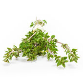 Thyme isolated — Stock Photo
