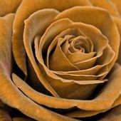 Rose closeup — Stock Photo