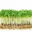 Cress isolated — Stock Photo #41760787
