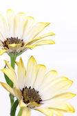 Daisy flowers — Foto Stock