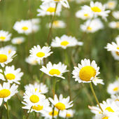 Daisy flowers — Foto de Stock